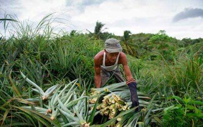 Foglie di ananas